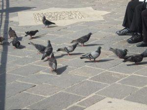 pigeon-feeding